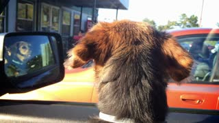 A small dog anxiously awaits her owner's return to the car.