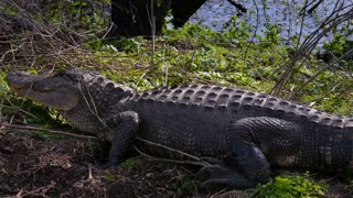 Alligator on the Shore of a Swamp 4040