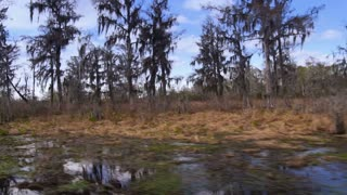Bald Cypress Trees 4034