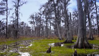 Bald Cypress Trees in a Swamp in Louisiana 4028