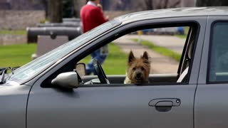 Dog in Car Waits for Owner