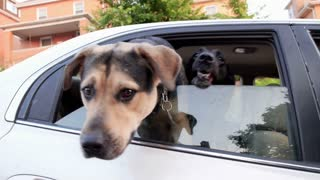 Dogs in Car Stick Head Out Window Excited
