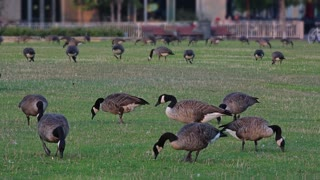 Geese graze on Pittsburgh's North Shore on a Summer evening.