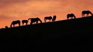 Grazing Silhouette Horses on Horizon at Sunset