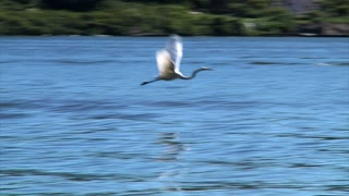 Great Egret Gracefully Flies Above Water