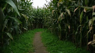 Lost in a Corn Maze 989