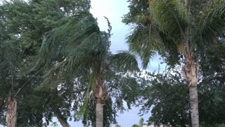 Palm trees blow in the wind during a big summer storm.