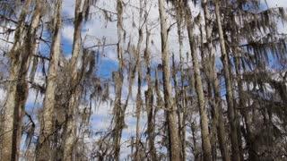 Tall Bald Cypress Trees 4035