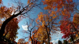 Tall Trees Fall Foliage Background