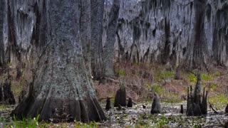 The Knees of Bald Cypress Trees 4036
