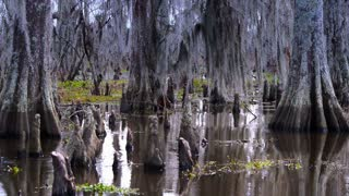 The Knees of Bald Cypress Trees in a Swamp 4038