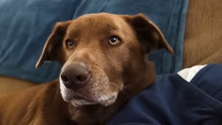 A cute brown household dog looks at the camera in a curious manner.