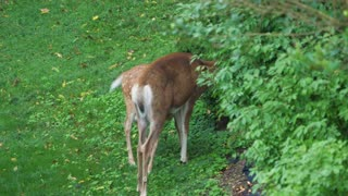 A young deer fawn interacts with its mother on an early summer morning in Western Pennsylvania.