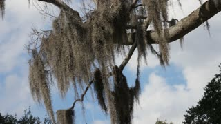 Spanish moss hangs in the breeze from a tree in the American south.