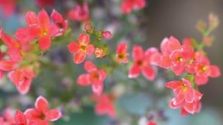 Begonia Or Flowers Or Begoniaceae