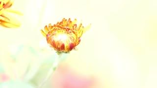 Chrysanthemum Flowers Or Flowers