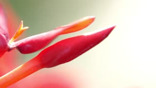 Flowers Or Laceleaf Flower Or Leaf