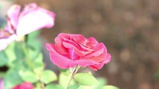Garden Roses Or Flowers