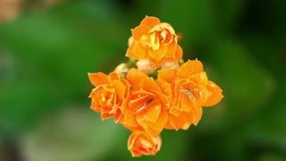 Lantana Camara Flowers Or Flowers