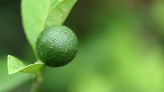 Lemon In Tree Or Lemon With Leaf