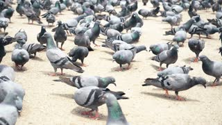 Pigeons Eating And Flying