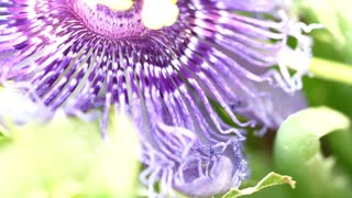 Purple passionflower Or Flowers