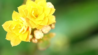 Rose flowers Or Yellow Rose Flowers