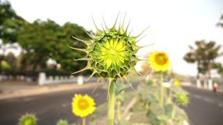 Sun Flower Bud In RoadSide