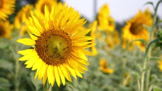 Sun Flower With Bees