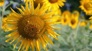 sunflowers Close-up With wind