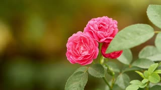 three pink roses close up with slow motion