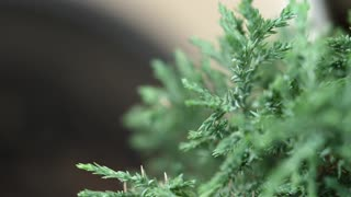 Tree Or Leyland Cypress Tree