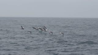 Monterey Bay Birds Flying In Slow Motion 01