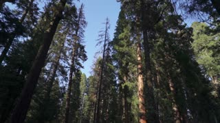 Sequoia National Park Driving Through Big Trees Forest
