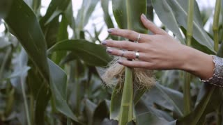 Hand is on the leaves of corn