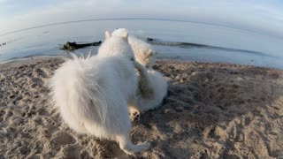 Nordic dogs playing on the beach