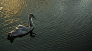 Two swans swimming in a pond