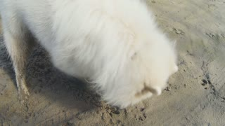 White dog digs a hole