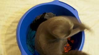 Amusement video of scotish fold kitten playing in blue bowl on the bed. Funny animal cat footage. Top view