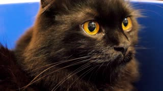 Close up big black norwegian forest cat looking at the camera. Animal portret