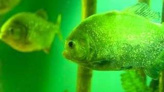 Dangerous piranha fish in the aquarium at the zoo