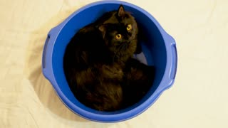 Funny animal video - big black norwegian forest cat sitting in a blue bowl and looking away. Top view