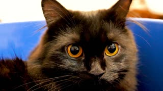 Portrait of beautiful black norwegian forest cat in blue bowl looking at the camera then away. Animal funny videos