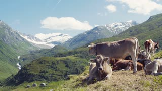 A herd of Alpine cows resting and gazing on the green hills of Alps, high snowy peaks on the background. Farming activities. Outside shooting, sunny weather. No people around. Rural area.