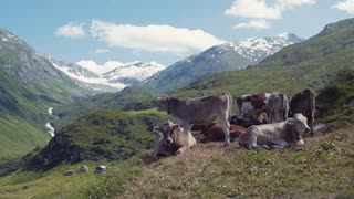 A herd of cows on pasture on the green mountain hills, high snowy peaks on the background. Small Swiss village. Outside shooting. No people around. Sunny weather, rural mountainous regions.