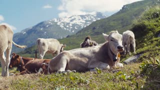 An elegant, large cow is laying on the green grass of alpine meadow, chewing the grass. A numerous herd and snowy high mountain peaks on the background. No people around. Windy weather.