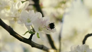 Close up view of blooming cherry tree and bee flying from one flower to another. No people around. Outside shooting, sunlight on the background. Natural, spring atmosphere.