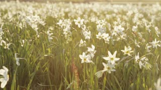Divine nature, saving protected fragile daffodils. Blossoming of white narcissus flower on a bright sunshine. Spring atmosphere. Spring landscape. No people around. Outside shooting.