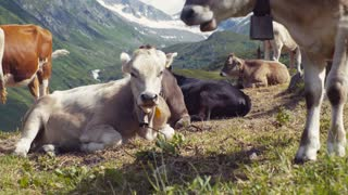 Herd of cows grazing and relaxing on an Alpine meadow with the majestic peaks covered with snow in the distance. A cow moving its tale. Farming activities. Outside shooting. Sunny weather.