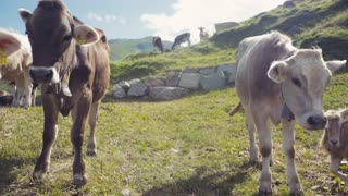 Herd of cows grazing and relaxing on an Alpine meadow with the majestic snowy peaks in the distance. Farming activities. Outside shooting. Sunny weather. No people around. Swiss village.
